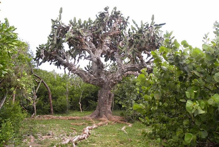 Природный парк с огромным кактусом El Patriarca